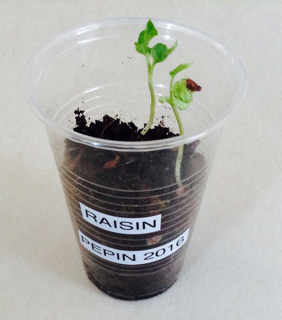 Planter un arbre fruitier à partir de pépins germés