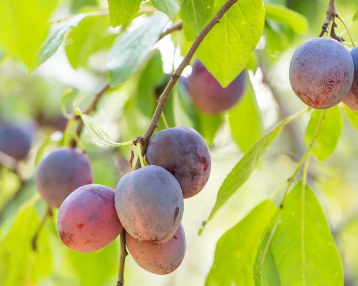 Comment réussir à faire germer un noyau de prune ?